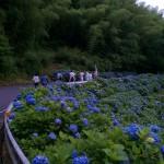 紫陽花群落1